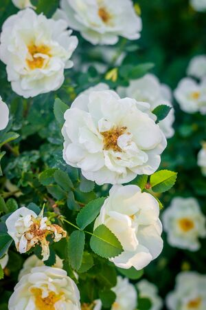Flowers white tea rose. Beautiful white flowers. Bush flowers. Flowers with thorns