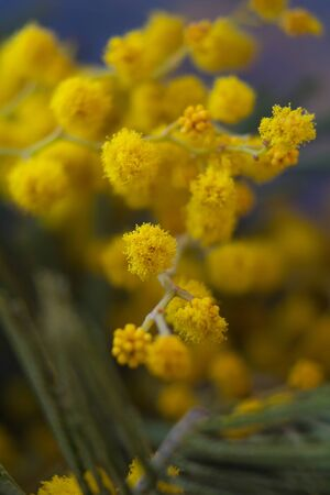 Yellow flowers mimosa. The branches of flowers. March 8. Bouquet on March 8