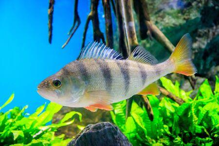 Fish swims in the aquarium in the aquarium. The inhabitants of the sea. Sea fish. Fish in the aquarium