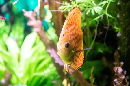 Fish swims in the aquarium in the aquarium.