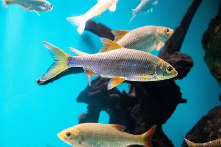 Fische schwimmt im Aquarium im Aquarium. Die Bewohner des Meeres. Meeresfisch. Fische im Aquarium