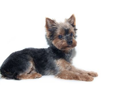 Yorkshire Terrier dog on a white Stock Photo