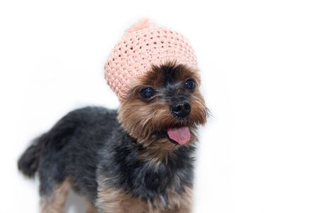 Yorkshire Terrier dog in a knitted hat on a white Stock fotó