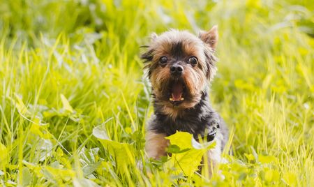 Yokshire Terrier for a walk in the grass. little dog. a pet . Sheared dog