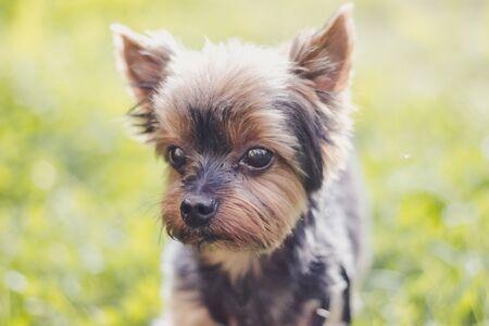 Yokshire Terrier for a walk in the grass. little dog. a pet . Sheared dog