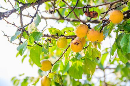 Apricots are hanging on a branch. Summer fruits. Fruit fruit tree. Yellow apricots