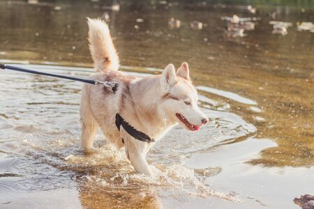 Husky portrait. Young husky dog on a walk in the water. Husky breed. Light fluffy dog. Walk with the dog. on a leash. Pretty dog. A pet Stock fotó