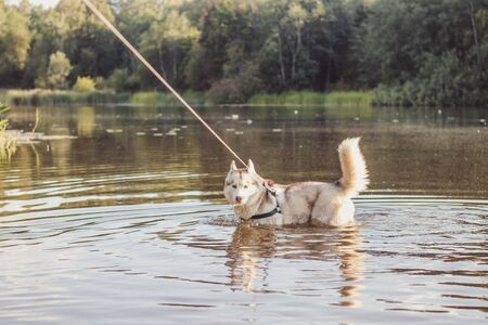 Husky portrait. Young husky dog on a walk in the water. Husky breed. Light fluffy dog. Walk with the dog. on a leash. Pretty dog. A pet Imagens