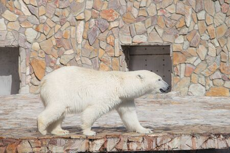 Polar bear at the zoo. An animal in captivity. Northern Bear. Big mammal Imagens