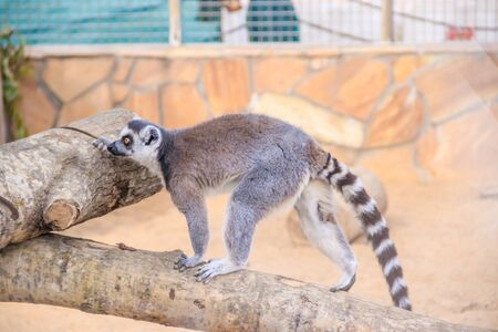 Lemur in the zoo. An animal in captivity. Striped tail. monkey family