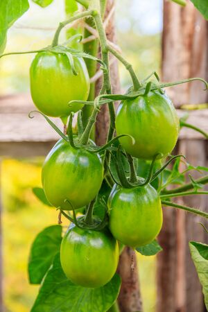 Green tomatoes hang on a branch in a greenhouse. Reklamní fotografie