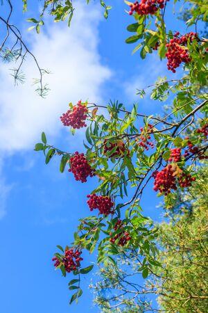 Rowan berries on a branch.