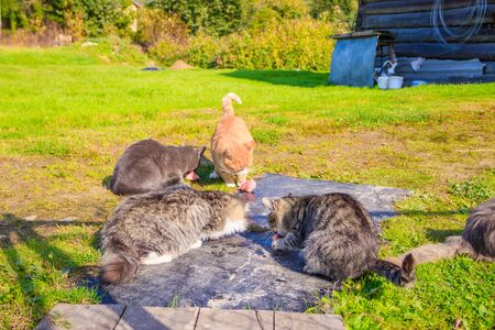 Feeding domestic cats. A lot of cats. Clean, well-groomed cats eat on the grass. Pets. Cat therapy