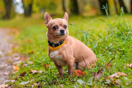 Chihuahua dog on a walk in the park. A small dog. Bright dog. Light color. Home pet. Dog on a background of greenery