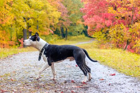 Amstaff dog on a walk in the park. 스톡 콘텐츠