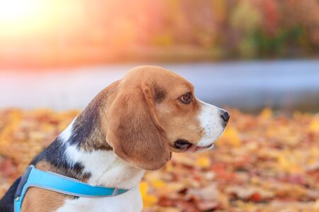 Beagle girl on a walk in the autumn park. Beautiful little dog. Home pet. Dog girl