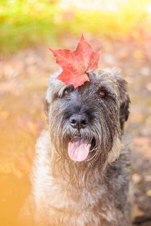 Miniature schnauzer dog for a walk in the autumn park. Dog with a haircut for a walk. . Dog on a walk. Dark dog Standard-Bild - 131683460