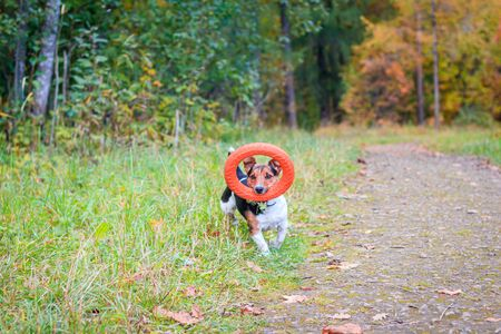 Dog Jack Russell Terrier for a walk in the park. Home pet. Dog walking in the park. Autumn Park. Bright coat color Archivio Fotografico