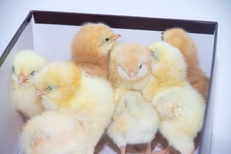 Little yellow chickens sit huddled in a box. Little hens. Livestock