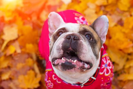 French bulldog in autumn leaves. Smile dog. Dog in overalls for a walk in the park. A little dog. Light color