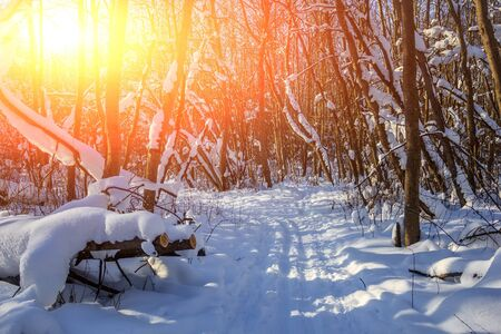 snowy winter forest in sunny weather. winter landscape. Trees in the snow. Snowy forest trails. Winter background