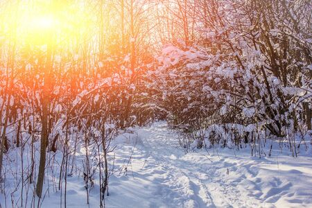snowy winter forest in sunny weather. winter landscape. Trees in the snow. Snowy forest trails. Winter background Standard-Bild