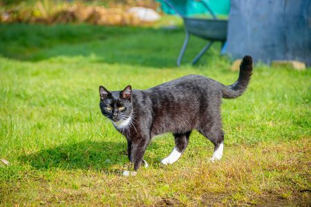 Cat walks on the grass . Nursling. Green grass. Yard cat.