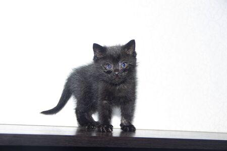Little black kitten on white background . A pet. Small animal. Mammal.