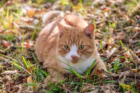 Beautiful cat lies on the grass with leaves. Pet. Cat for a walk in the yard.