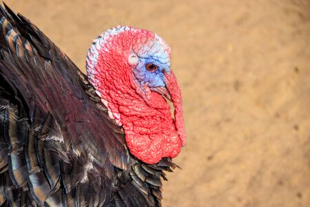 Turkey in the zoo. Poultry. Cattle. Animal in captivity. Birds in the zoo.