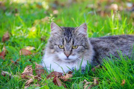 Domestic cat on a walk in the yard . A pet. Cat. Cat on a walk. Mammal. Animal hair. Summer