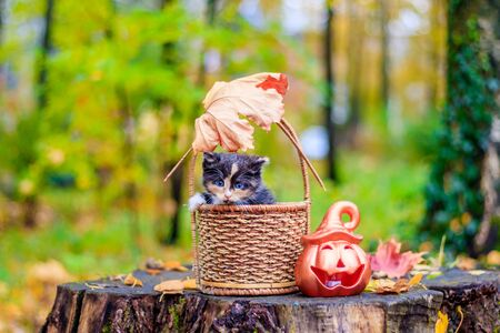 a small kitten on the path with leaves. kitten on a walk in autumn. pet. tricolor cat Stock Photo