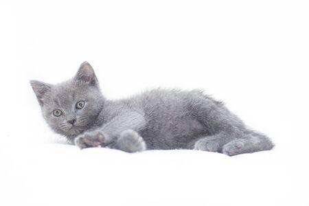 Un gatito gris se encuentra sobre un fondo blanco. Lindo gatito. Gato británico. Portada para un álbum o cuaderno. Relajarse . Foto de archivo