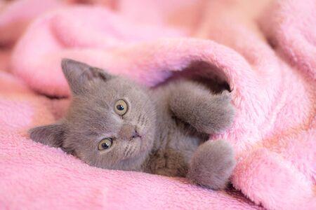 A British kitten sleeps on a pink blanket.