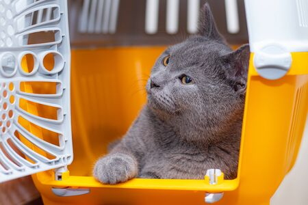 The cat is sitting in an animal carrier . Pet. Transportation of animals. Article about animal transportation. The safety of a pet. Grey British cat