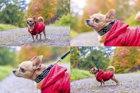 Collage of a chihuahua dog. Collage dog. Chihuahua dog in a red suit for a walk in the park. Dog on a walk.
