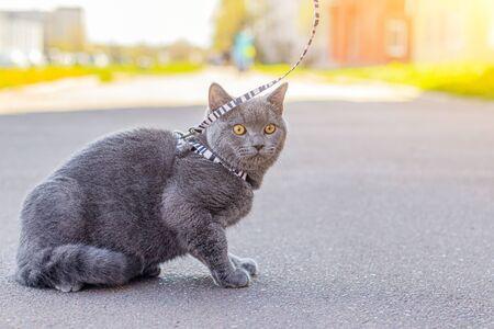 Walk the cat on the harness. Zdjęcie Seryjne