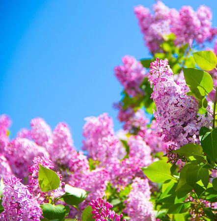 Lilac branches on a background of blue sky. Flowering bush. Blue sky. pink lilac. Summer. Copy spase.