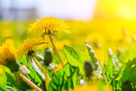 A field of dandelions. An article about summer flowers. Beautiful yellow flowers background with light. Bright summer sunny flowers. Dandelions