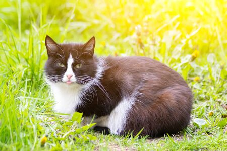 A colored cat is lying on the grass. Cat in the grass. A street cat. Beautiful cat. The stuck out its tongue.
