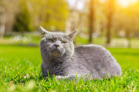 Gray cat lies on the lawn. Pet for a walk. Pet is afraid of the street. An article about walking cats. An article about the fear of street pets. British breed cat. Photo for the puzzle, album, notebook. Walking the animal during the coronavirus. Walk in the fresh air 版權商用圖片