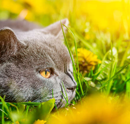 A gray cat is sitting in dandelions. Cat in the flowers. A beautiful photo on the cover of a notebook, album, puzzle. Bright photo of a cat. cat of the British breed. Yellow flowers . Pet for a walk. Fear of going out to the pet