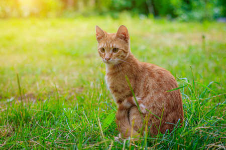 Ginger cat sitting in the grass . A pet. Cat on a walk. Cat for the cover . Article about walking Pets and behavior on the street.