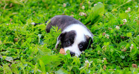 Puppy Welsh Corgi cardigan is lying on the grass. A pet. A beautiful thoroughbred dog. The concept of the artwork for printed materials. Article about dogs. A small puppy on a walk. Corgi dog. Black and white color of the dog
