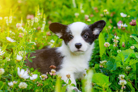 The dog is a Corgi puppy in the grass