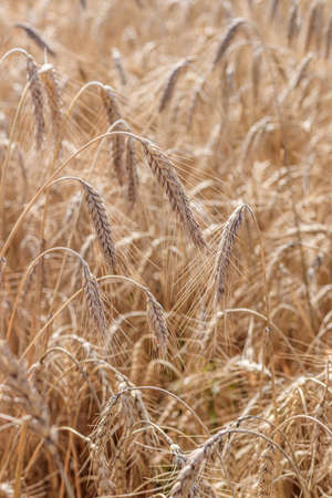 Wheat field background . Collection of field crops. Rural landscape. Background of ripening wheat ears in the field and sunlight. Field crops. . Field landscape. 版權商用圖片