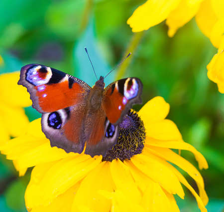 The urticaria butterfly sits on a yellow flower. beautiful butterfly. Insect. Insect on a flower. Butterfly on a flower. Design of printed products