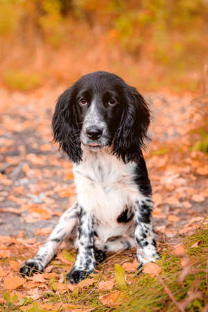 Spaniel hunting for a walk in the fall. Dog on a walk in autumn. Autumn portrait of an animal. Puppy. Walking a pet. Beautiful photo with a dog. Article about Pets. Black and white color. 版權商用圖片