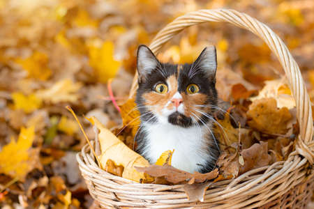Cat sitting in a basket and autumn leaves . A young colored cat. Autumn leave. Cat in the basket. Walking a pet. Article about cats and autumn. Yellow fallen leaves. Photos for printed products