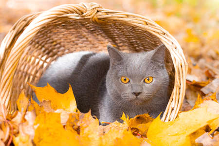 Grey cat in the basket. Cat sitting in a basket and autumn leaves . Young cat. Autumn vacation. Walking a pet. Article about cats and autumn. Yellow fallen leaves. Photos for printed products